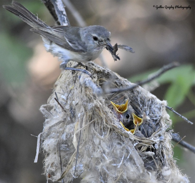 Bell's Vireo (Bell's) feeding chicks