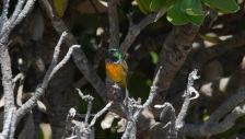 Orange-breasted Sunbird-Cape Town South Africa