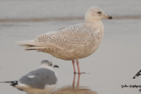 Iceland Gull 2nd Cycle