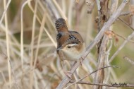 Marsh Wren-Lake Apopka North Shore