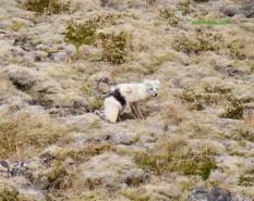Arctic Fox-Iceland