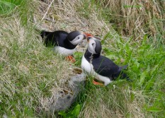 Atlantic Puffins Kissing Iceland May-June 2018