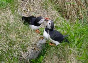 Atlantic Puffins Kissing Iceland May-June 2018