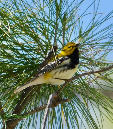 Black-throated Green Warbler- Fort Zachary Taylor State Park