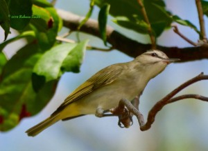 Black-whiskered Vireo- Caryfort Circle, Key Largo