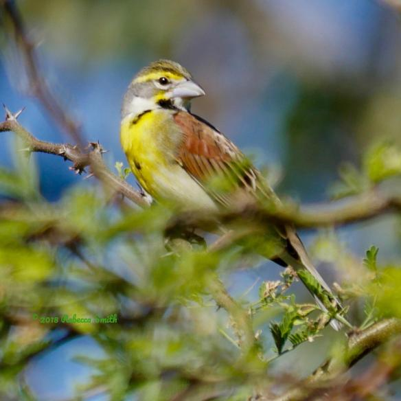 Dickcissel-Fort Zachary Taylor State Park