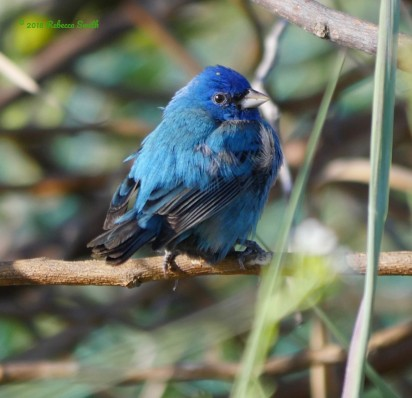Indigo Bunting- Fort Zachary Taylor State Park