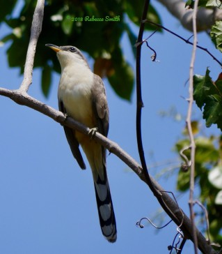 Mangrove Cuckoo- Dangy Johnson State Botanic Park, Key Largo