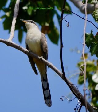 Mangrove Cuckoo- Dangy Johnson State Botanic Park, Key Largo