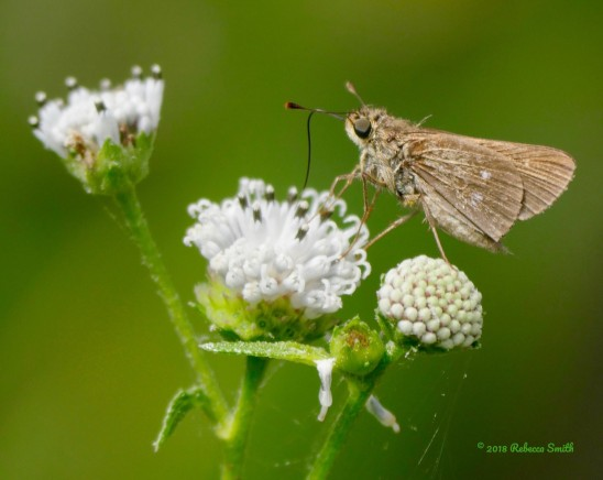 Obscure Skipper- Sugarloaf Key