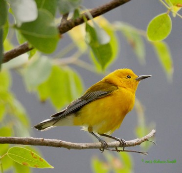 Prothonotary Warbler- Fort Zachary Taylor State Park