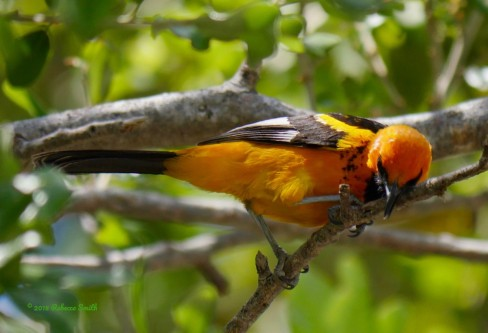 Spot-breasted Oriole- Virginia Gardens