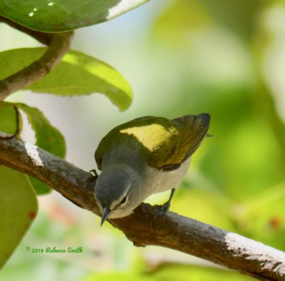 Tennessee Warbler- Fort Zachary Taylor State Park