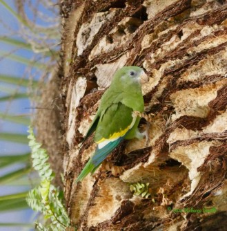 White-winged Parakeet- Ocean Bank, Little Havana