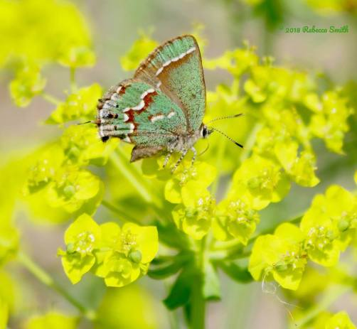 Juniper Hairstreak Photo by Rebecca Smith