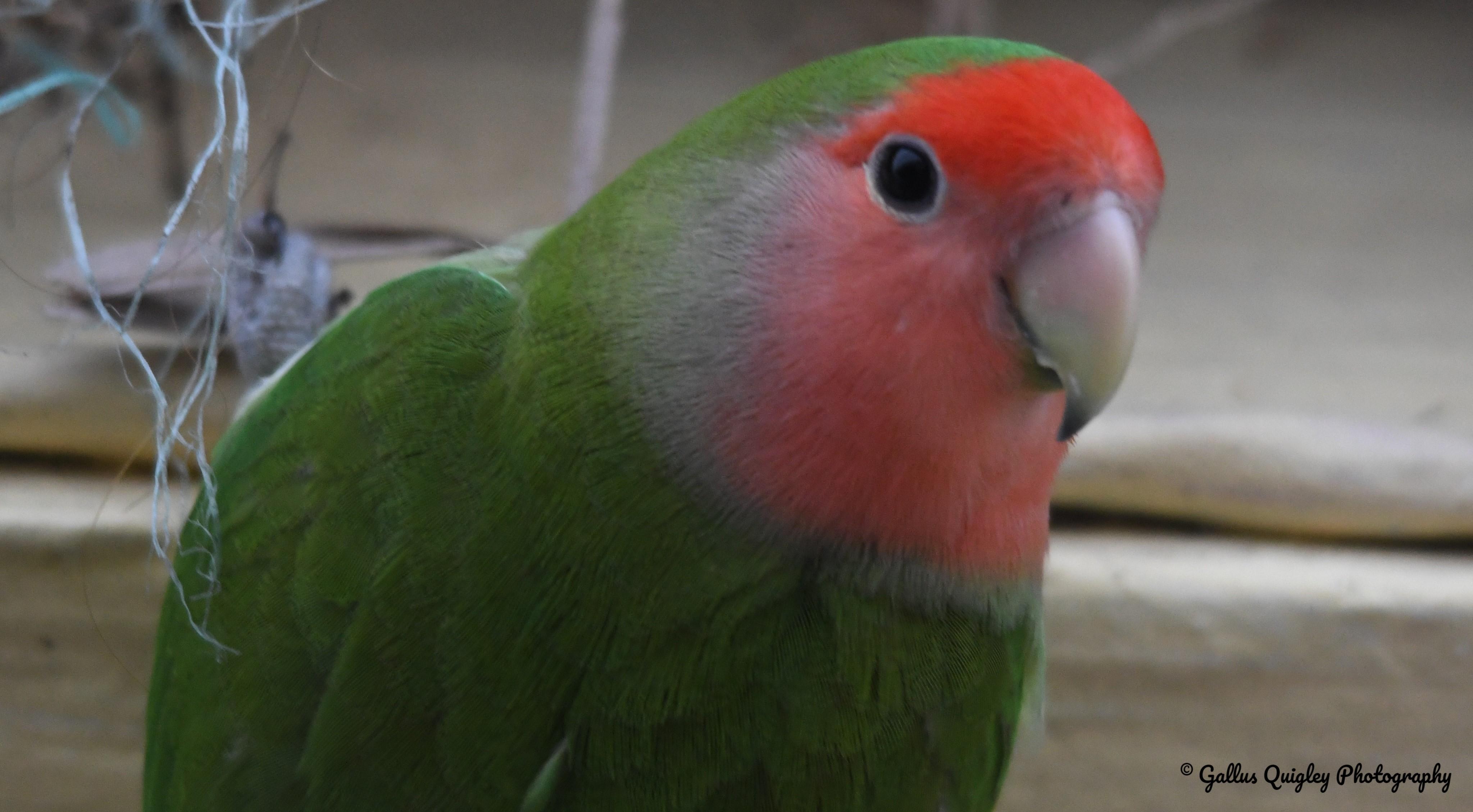Lovebird (1)
