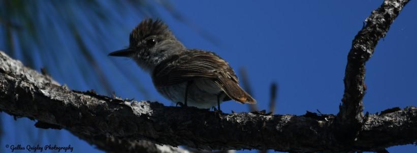 LaSagra's Flycatcher