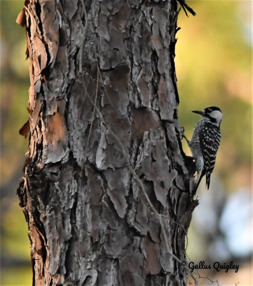 Red-cockaded Woodpecker ONF