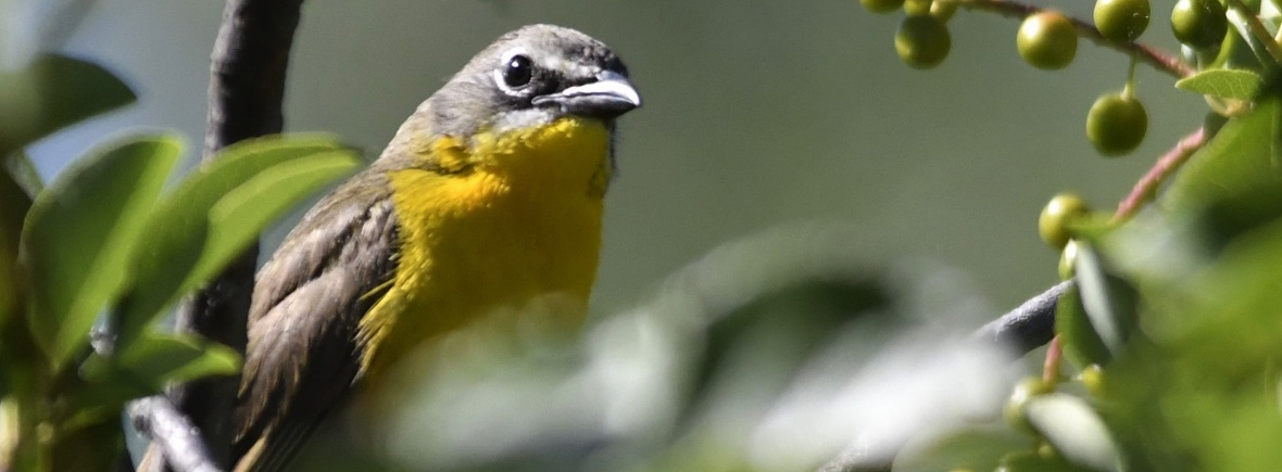 Yellow-breasted Chat (Western)
