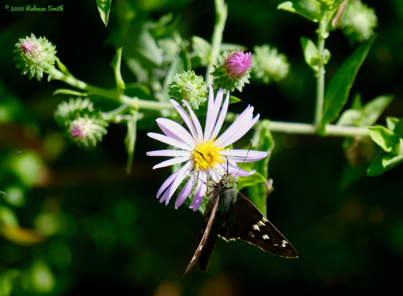 Long-tailed Skipper on Climbing Aster