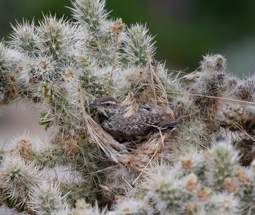 Cactus Wren on nest